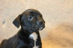 Leia  Border Collie & Boxer Mix • Baby • Female • Large  Collin County Humane Society McKinney, TX