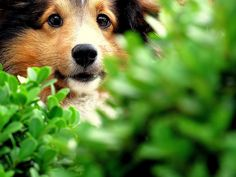 Todays 26 funny Dogs - Time For Funny Funny Dogs, Cute Dogs, Shetland Sheepdog Puppies, What Kind Of Dog, Cute Little Animals, Favim, Sheltie, Collie, Dog Life