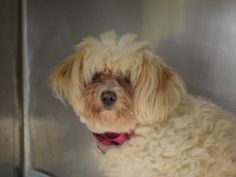 SUPER URGENT 08/22/16 ** NEW HOPE RESCUE ONLY ** Ruby is a gem that needs some polishing. A beautiful mixture of Standard Poodle and Maltese this spayed five year old dog was surrendered to the ACC of NYC on 8/15 due to a move by her owners. Ruby is a twelve pound dog that likes to get to know new people slowly, so that fast paced environment of the ACC is stressful and causing her to be reactive towards staff. Ruby lived with her owner for one year and did live with another dog that she was…
