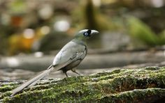 Best bird photos of the year | My (belated) Best Bird of the Year 2011: Racket-tailed Treepie
