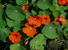 Flowers That Repel Pests is a Handy Guide Giving You My Top 15 Flowers to Companion Plant With Your Vegetables For Healthier, Happier Plants. Nasturtium, Flowers Perennials, Plants, Garden, Lavender Plant, Growing Plants, Organic Gardening Pest Control, Planting Herbs, Flowers
