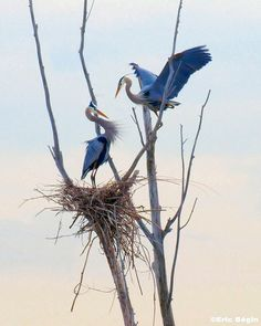 Herons and nest high in a tree. You can see heron rookeries near the Bothell Park and Ride.