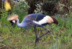 Lauren's Life Book: Grey Crowned Crane (Balearica regulorum): the International Crane Foundation