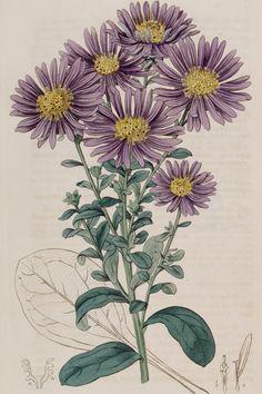 Aster Flower Tattoos, Michaelmas Daisy, Daisy Drawing, Daisy Art, Room Posters, Flower Wallpaper, Aesthetic Wallpapers, Flower Power, Body Art