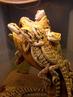 bearded dragon pile - Google Search