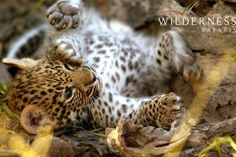 Can you believe this little tyke is now a world famous movie star?!  Young Legadema as a cub - the star of 'Eye of the Leopard'.