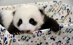 Imagen osito panda bebe [9-9-15]