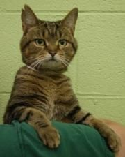 Lyra is an adoptable Domestic Short Hair Cat in Hilliard, OH. Lyra is very friendly and loves people. She's a quiet, mellow girl, and she likes to snuggle up and sit on any available lap. Lyra is affe...