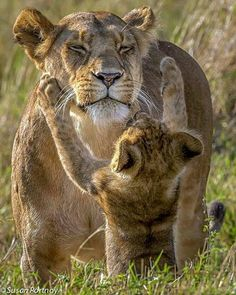 Apparently, this lion cub wants his mother's attention © Susan Portnoy Big Cats, Cats And Kittens, Cute Cats, Nature Animals, Animals And Pets, Wild Animals, Animals With Their Babies, Beautiful Cats, Animals Beautiful