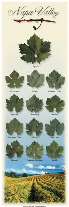 Napa Vineyard Leaf Poster