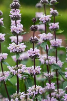 "Phlomis tuberosa Phlomis are best known for their handsome woolly grey green foliage and are excellent for cutting and drying. Drought tolerant. Prefers well-drained soil in full sun. Height 120cm (48""). Spread 90cm (36""). Hardy perennial."