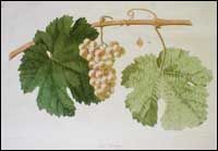 Classic Image of Riesling (Petit Riesling) Grapes Riesling originated in the Rheingau region of southwestern Germany. It has been cultivated in Germany at least since the Fifteenth Century. Riesling is the dominant grape variety in Germany. It is found throughout Central Europe, the Alsace region of northeastern France, California, Australia, and New Zealand.