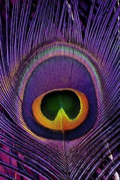 Gorgeous peacock feather images in purple, fuchsia and green. Purple Peacock, Peacock Decor, Peacock Colors, Peacock Art, Peacock Feathers, Purple Yellow, Wallpapers Texture, Motifs Animal, Krishna Wallpaper