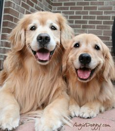 Goldens just SMILE...Re-pinned by StoneArtUSA.com ~ affordable custom pet memorials since 2001