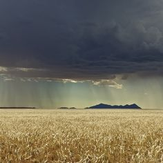 rain clouds over wheat Beautiful World, Beautiful Places, Cool Pictures, Cool Photos, Love Rain, Singing In The Rain, Amazing Nature, Beautiful Landscapes, The Great Outdoors