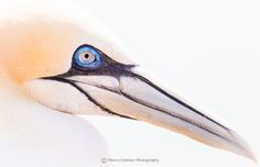 Portrait of a Gannet - Here is a shot from our last trip to Helgoland last week. A great place to photograph these magnificent sea birds.  I love the detail of the blue ring around the eye. Hope you like it.   Please click on it to see it on black.