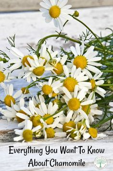 DIY Skin Care Recipes : Picture Description Everything you ever wanted to know about the amazing herb Chamomile! From how to grow it, to how to use it, it's all here! The Homesteading Hippy via The Homesteading Hippy Hydroponic Gardening, Hydroponics, Organic Gardening, Gardening Tips, Pallet Gardening, Urban Gardening, Gardening Supplies, Indoor Gardening, Indoor Plants