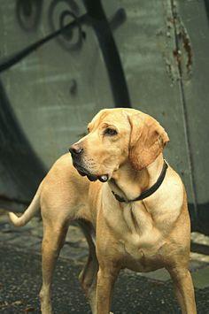 'Nice' the Street Dog pic by boad[art, dog, hund, amerikan gointer #hunde #dog #hybriddog #americangointer
