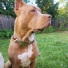 The Maui Rose  Rose Gold with floral inlay.  The bitches love it 😍😂.  Don't forget to add a custom engraved ID link to your order @doubletrouble_bullies  Get yours at bigdogchains.com . Lifetime warranty Custom fit Stainless steel Handmade in Canada . . . . . . #bigdogchains #dogchains #dogcollar #golddogcollar #golddogchain #luxurydogcollar #luxurydogchain #dogcollars #collars #leash #leashandcollar #chocker #fashion #statement #canada #handmade #luxury #stylish #goodvibe #largedog Big Dogs, Large Dogs, Gold Dog Collar, Luxury Dog Collars, Custom Engraving, Maui, Pitbulls, Stainless Steel, Chocker