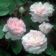 Belle Isis rose - pink gallica, no repeat bloom Love Flowers, My Flower, David Austen Roses, Old English Roses, Planting Roses, Garden Roses, Rose Foto, Ronsard Rose, Heritage Rose