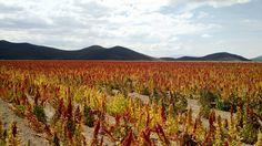 Quinoa field close to Isluga volcano National Park, Atacama Desert highlands, Chile.