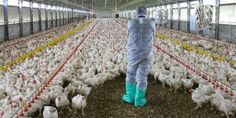 EPIRUS TV NEWS: Βαριές «καμπάνες» σε 13 πτηνοτροφικές επιχειρήσεις...