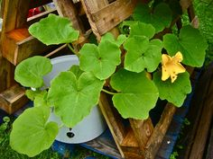 Flowering squash in a bucket with draine hole in the sidewall (Photo WVC)