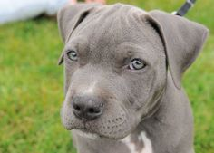 I have decided that the next dog I get is going to be a grey pit bull. ADORABLE!
