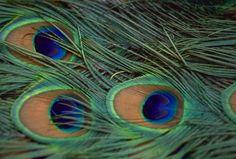 孔雀の羽の壁紙 | 壁紙キングダム PC・デスクトップ版