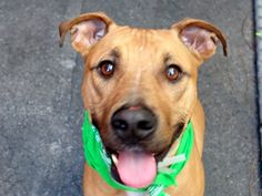 SAFE 7-20-2015 --- Manhattan Center CREASY – A1043603  NEUTERED MALE, BROWN / WHITE, AM PIT BULL TER MIX, 2 yrs OWNER SUR – EVALUATE, NO HOLD Reason OWNER SICK Intake condition EXAM REQ Intake Date 07/11/2015