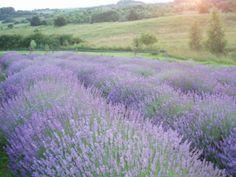 Lavender fields in Winiary Dolne and Nowe Kawkowo