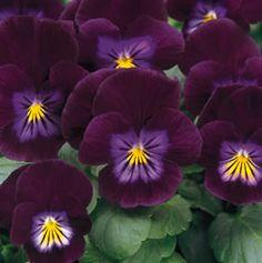 Purple Rain pansy.
