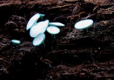 Green Stain Fungus