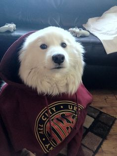 And this guy who's all about getting cozy. | 27 Samoyeds For Anyone Who Needs A Little Fluff