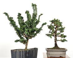 Sekka Hinoki bonsai first styling