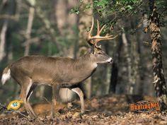 deer | Deer Backgrounds