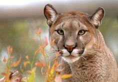 Cougar :: Photographer: onur fidan
