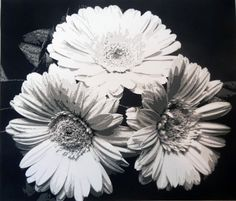 Three Daisies, 2013. Paper. 14 in x 16 in