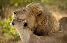 Hey dear...Hello, my lion...You're the best lion in the world...I know...What would I do without you?....What do you want, my sire?...FOOD...I'm on it...Thanks dearie (Lionchats!!)