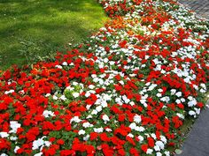 red and white impatiens