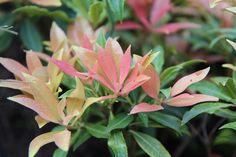 Pieris Japonica, Plantation, Tree Decorations, Beautiful Flowers, Bloom, Backyard, Rose, Voici, Gardens