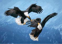 Bald Eagles Fighting Bald Eagles