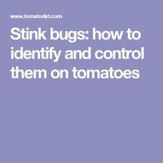 Stink bugs: how to identify and control them on tomatoes