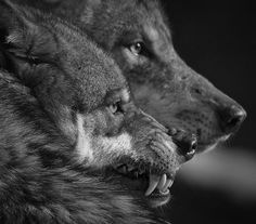 I was told by someone who once owned a wolf-dog that a wolf's teeth and a dog's teeth are different. Beautiful Creatures, Animals Beautiful, Cute Animals, Wolf Spirit, Spirit Animal, Wolf Hybrid, Howl At The Moon, Wolf Love, She Wolf