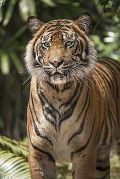 Majestic | www.sdzsafaripark.org/tigertrail | San Diego Zoo | Flickr