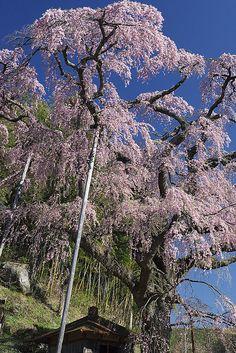Cherry tree in full bloom, Koriyama, Fukushima, Japan Cherry Blooms, Cherry Tree, Love Flowers, Beautiful Flowers, Sakura Cherry Blossom, Fukushima, Nihon, Japanese Culture, Amazing Places