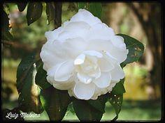 Camélia (Camellia japonica)