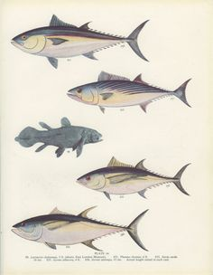 Bluefin Tuna German BonitoYellowfin Tuna by MarcadeVintagePrints, €10.60