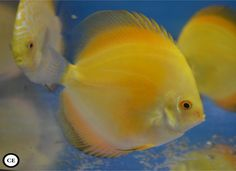 Discus Fish, Freshwater Aquarium Fish, Guppy, Beautiful Fish, Cichlids, Fresh Water, Amazing, Animals, Image