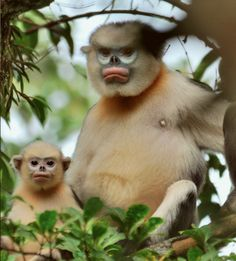 Tonkin Snub-Nosed Monkey  endemic to Northeastern Vietnam